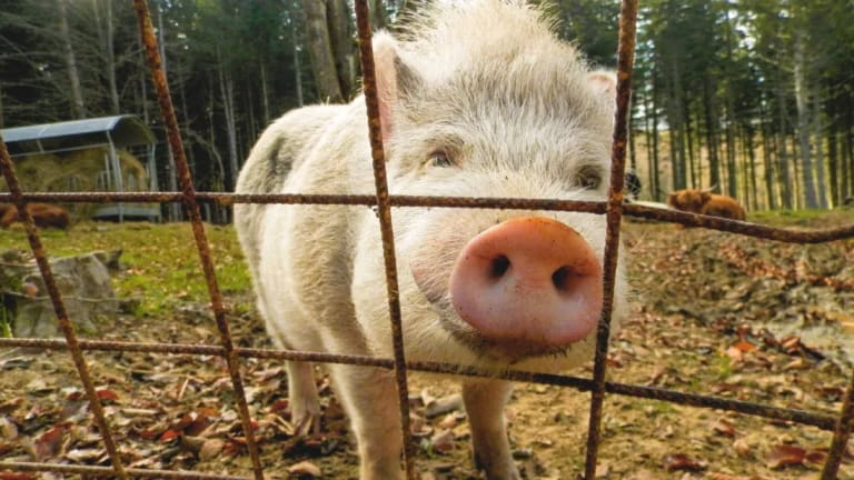 South Carolina Farm Needs Volunteers to Cuddle With Pigs and Feed Them Cookies