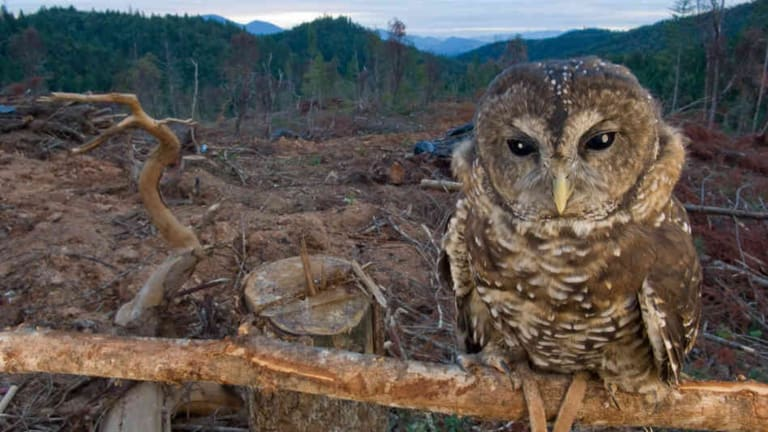This Owl on the Remains of His Home Show us That Trees Are More Than Materials