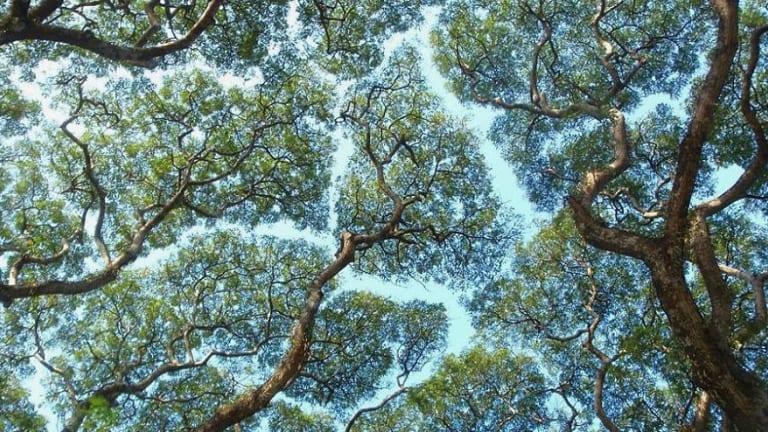 """""""Crown Shyness"""", A Phenomenon Where Trees Avoid Touching"""