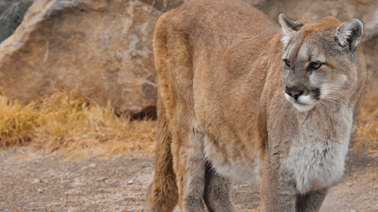 We shouldn't celebrate the killing of a mountain lion